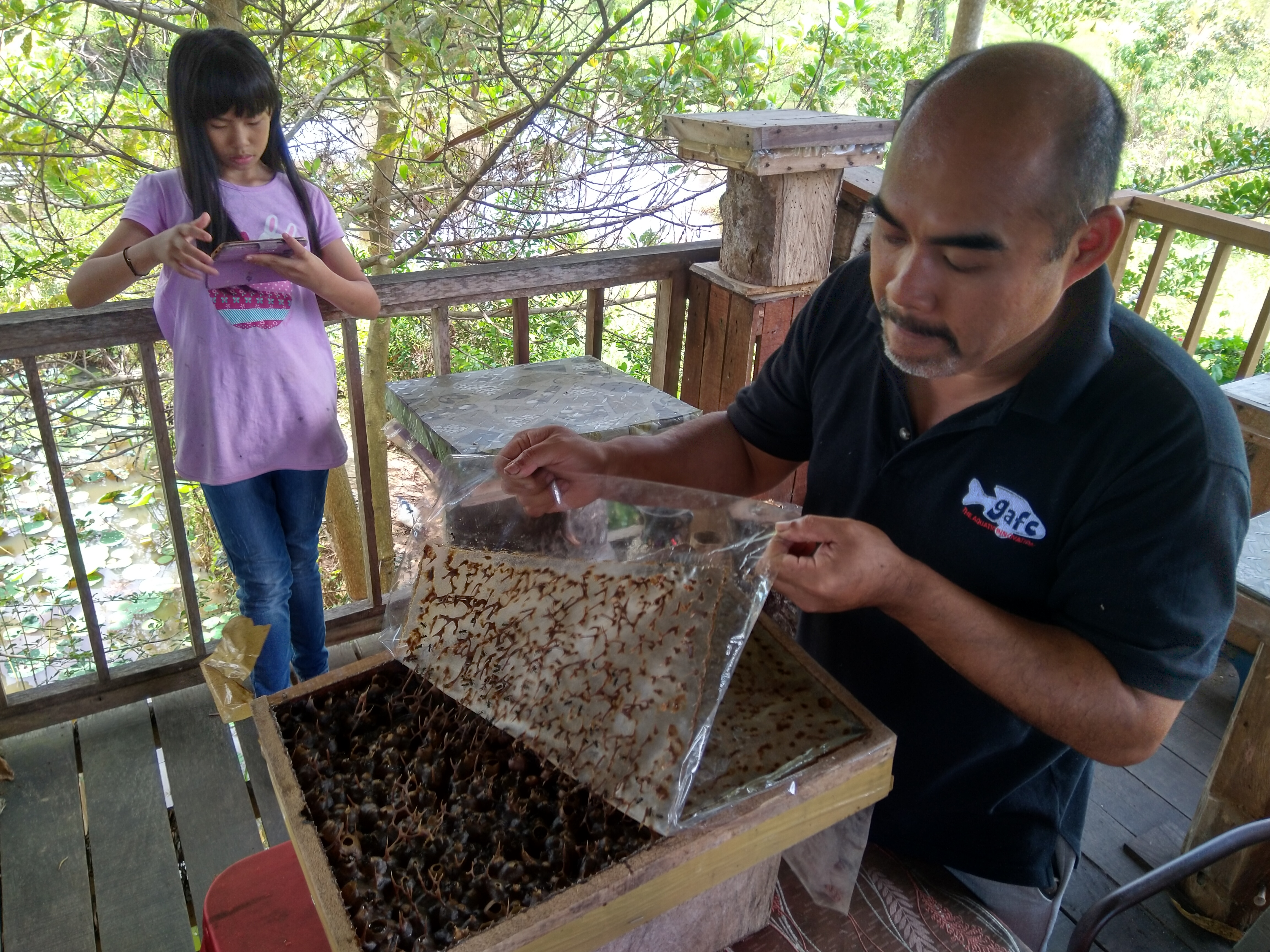 Opening stingless bee hive
